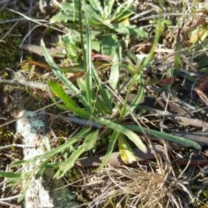 Wahlenbergia capillaris at Wanniassa Hill - 26 May 2017