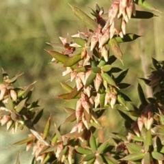 Leucopogon fletcheri subsp. brevisepalus at Wanniassa Hill - 26 May 2017