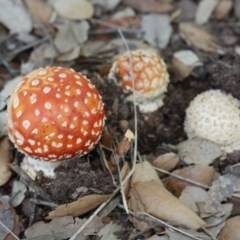 Amanita muscaria (Fly agaric) at National Arboretum Forests - 29 Apr 2017 by forgebbaboudit