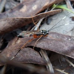 Gotra sp. (genus) (Unidentified Gotra ichneumon wasp) at Mount Painter - 30 May 2017 by CathB
