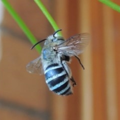 Amegilla (Zonamegilla) asserta (Blue Banded Bee) at Conder, ACT - 22 Jan 2017 by michaelb