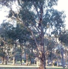 Eucalyptus globulus subsp. bicostata (Southern Blue Gum, Eurabbie) at Hughes Garran Woodland - 1 Jun 2017 by ruthkerruish