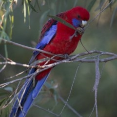 Platycercus elegans (Crimson Rosella) at ANBG - 4 Jun 2017 by SallyandPeter