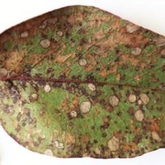 Leaf spot fungus at Garran, ACT - 19 May 2017 by ruthkerruish