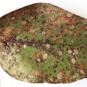 Leaf spot fungus at Hughes Garran Woodland - 20 May 2017
