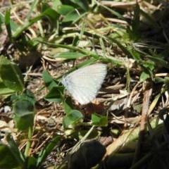 Zizina otis (Common Grass-blue) at Waramanga, ACT - 5 Nov 2016 by RyuCallaway