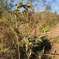 Oenothera indecora subsp. bonariensis at Gigerline Nature Reserve - 1 Apr 2017