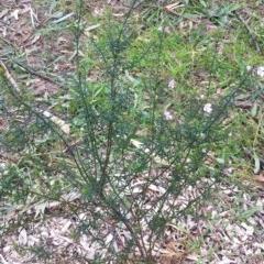 Westringia eremicola (Slender Westringia) at Hughes Garran Woodland - 8 Jun 2017 by ruthkerruish