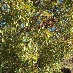Brachychiton populneus subsp. populneus (Kurrajong) at Urambi Hills - 11 Jun 2017 by Mike
