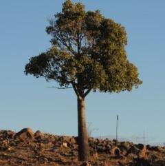 Brachychiton populneus subsp. populneus (Kurrajong) at Urambi Hills - 3 Jun 2017 by michaelb