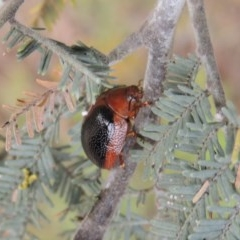 Dicranosterna immaculata (Acacia leaf beetle) at Gigerline Nature Reserve - 28 Dec 2016 by michaelb