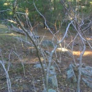 Ailanthus altissima at Isaacs Ridge and Nearby - 4 Jun 2017