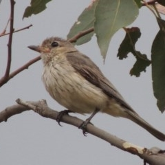 Pachycephala rufiventris (Rufous Whistler) at Tennent, ACT - 24 Jan 2015 by michaelb