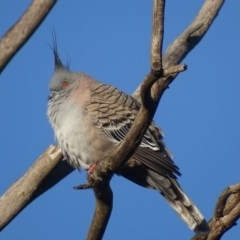 Ocyphaps lophotes (Crested Pigeon) at Jerrabomberra Wetlands - 12 Jun 2017 by roymcd