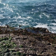Durvillaea potatorum (Bull Kelp) at Green Cape, NSW - 11 Sep 2016 by libbyh