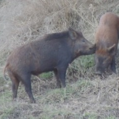 Sus scrofa (Feral Pig) at Point Hut to Tharwa - 14 Jun 2017 by michaelb