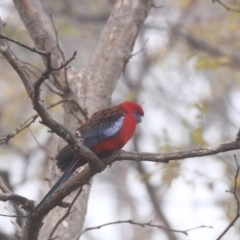Platycercus elegans (Crimson Rosella) at Higgins, ACT - 14 Jun 2017 by Alison Milton