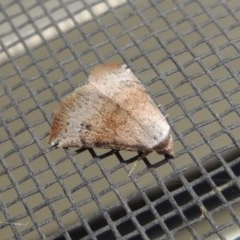 Mataeomera coccophaga (Brown Scale-moth) at Conder, ACT - 1 Jan 2017 by michaelb