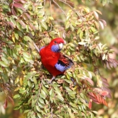 Platycercus elegans (Crimson Rosella) at Higgins, ACT - 5 Jun 2017 by Alison Milton