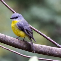 Eopsaltria australis (Eastern Yellow Robin) at ANBG - 15 Jun 2017 by Alison Milton