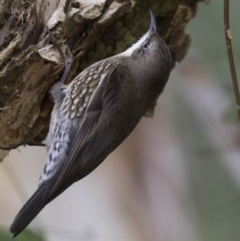 Cormobates leucophaea (White-throated Treecreeper) at ANBG - 16 Jun 2017 by Alison Milton