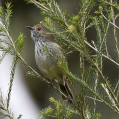 Acanthiza pusilla (Brown Thornbill) at ANBG - 16 Jun 2017 by Alison Milton
