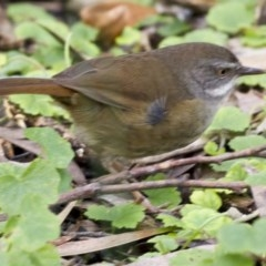Sericornis frontalis (White-browed Scrubwren) at ANBG - 16 Jun 2017 by Alison Milton