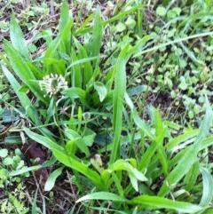 Plantago lanceolata (Ribwort Plantain) at Hughes Garran Woodland - 17 Jun 2017 by ruthkerruish