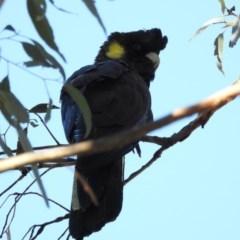 Calyptorhynchus funereus (Yellow-tailed Black-Cockatoo) at Majura, ACT - 17 Jun 2017 by Qwerty