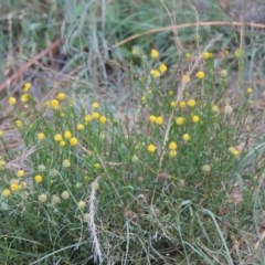 Calotis lappulacea (Yellow burr daisy) at Gigerline Nature Reserve - 4 Jan 2017 by michaelb