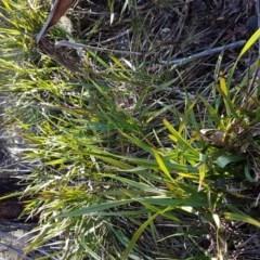 Dianella tasmanica (Tasman Flax Lily) at Namadgi National Park - 21 Jun 2017 by LukeJ