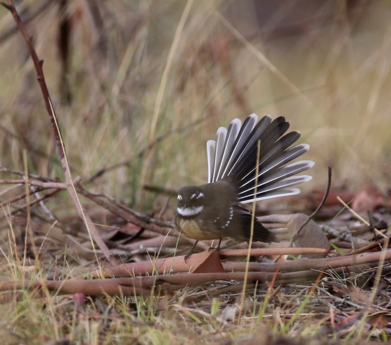 Rhipidura albiscapa at Wandiyali-Environa Conservation Area - 1 Apr 2016