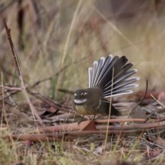 Rhipidura fuliginosa (Grey Fantail) at Wandiyali-Environa Conservation Area - 31 Mar 2016 by Wandiyali