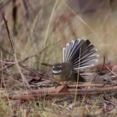 Rhipidura fuliginosa (Grey Fantail) at Wandiyali-Environa Conservation Area - 31 Mar 2016 by Wandiyali