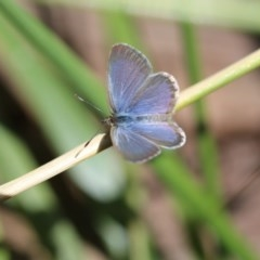 Zizina otis (Common Grass-blue) at O'Connor, ACT - 19 Dec 2016 by ibaird