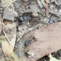 Camponotus suffusus (Golden-tailed sugar ant) at Acton, ACT - 18 Mar 2017 by DaveW