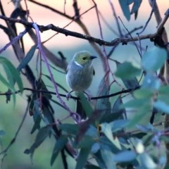 Ptilotula penicillatus (White-plumed Honeyeater) at Wandiyali-Environa Conservation Area - 23 Apr 2016 by Wandiyali