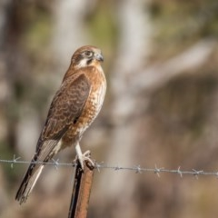 Falco berigora (Brown Falcon) at Gordon, ACT - 24 Jun 2017 by ajc