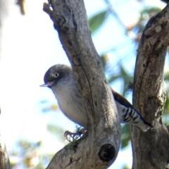 Daphoenositta chrysoptera (Varied Sittella) at Wandiyali-Environa Conservation Area - 23 May 2017 by Wandiyali