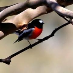 Petroica boodang (Scarlet Robin) at Wandiyali-Environa Conservation Area - 31 Mar 2016 by Wandiyali