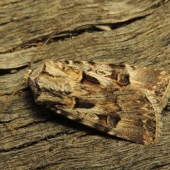 Agrotis munda (Brown Cutworm) at Conder, ACT - 27 Oct 2016 by michaelb