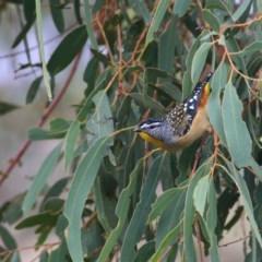 Pardalotus punctatus (Spotted Pardalote) at Wandiyali-Environa Conservation Area - 24 Mar 2016 by Wandiyali
