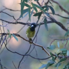 Nesoptilotis leucotis (White-eared Honeyeater) at Wandiyali-Environa Conservation Area - 23 Apr 2016 by Wandiyali