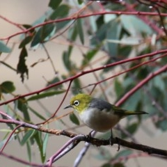 Zosterops lateralis (Silvereye) at Wandiyali-Environa Conservation Area - 31 Mar 2016 by Wandiyali