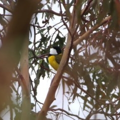 Pachycephala pectoralis (Golden Whistler) at Wandiyali-Environa Conservation Area - 31 Mar 2016 by Wandiyali