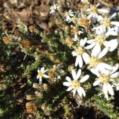 Olearia microphylla (Olearia) at Sth Tablelands Ecosystem Park - 29 Jun 2017 by AndyRussell