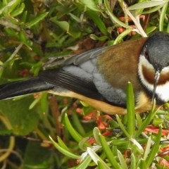 Acanthorhynchus tenuirostris (Eastern Spinebill) at Cotter Reserve - 7 Jul 2017 by JohnBundock