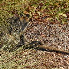 Wallabia bicolor (Swamp Wallaby) at Cotter Reserve - 7 Jul 2017 by JohnBundock