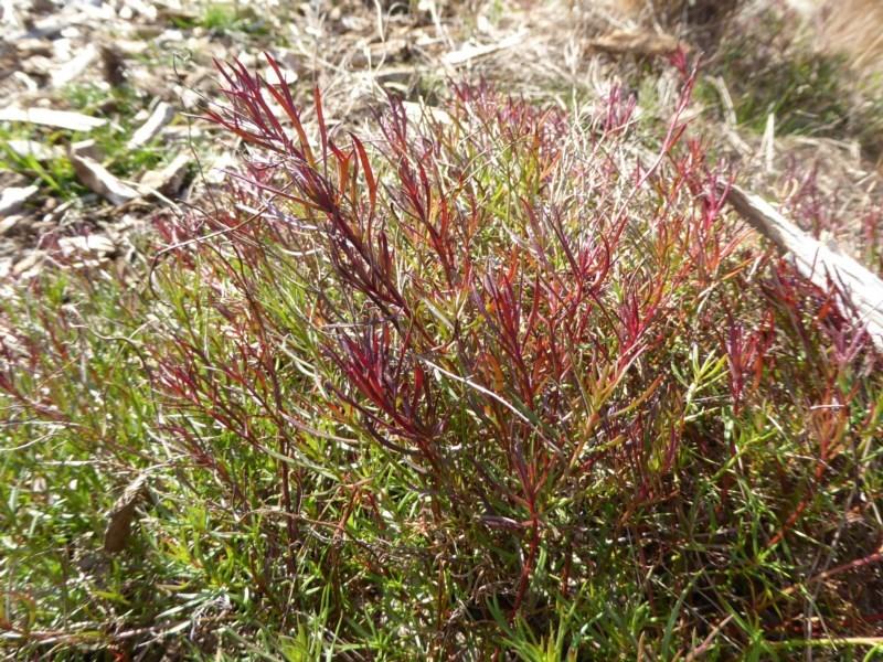 Haloragis heterophylla at Sth Tablelands Ecosystem Park - 30 Jan 2018
