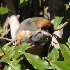 Acanthorhynchus tenuirostris (Eastern Spinebill) at Kioloa, NSW - 4 Jun 2014 by michaelb